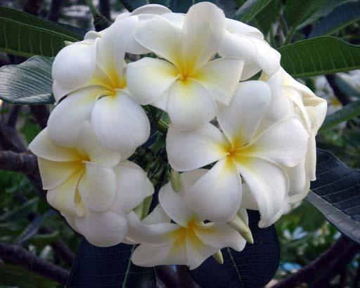 Lilawadii flower