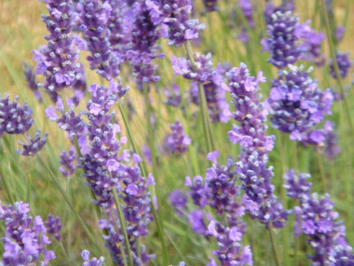 purple flower UK