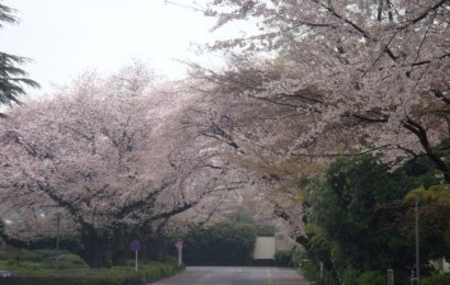 The beauty of Sakura in Japan.