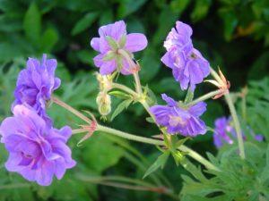 flower at Batesman3 july2016